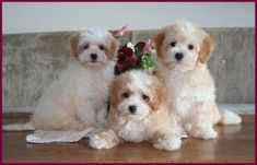 Maltipoo puppies for sale in Iowa. Dog Breeder specialists in small mixed breed dogs. All puppies from this litter are sold but check the Maltipoo page for availability. Maltese Poodle Puppies, Maltipoo Puppies For Sale, Maltipoo Dog, Teacup Puppies, Pomeranian, Maltipoo Haircuts, Teacup Maltipoo, Cavachon Puppies, Mini Goldendoodle