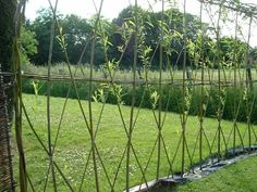 Willow cuttings called 'withies' easily root in either water or moist soil. Plant in late winter and come July you'll have a privacy screen.