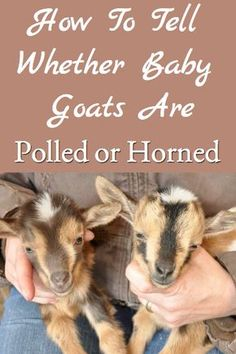 When breeding polled goats, it's sometimes difficult to tell whether the babies are horned or polled. This post describes what to look and provided pictures to help goat owners determine whether baby goats are horned or polled when they are born. Raising Farm Animals, Raising Goats, Goat Playground, Keeping Goats, Goat Pen, Goat Care, Nigerian Dwarf Goats, Cute Goats, Mini Goats