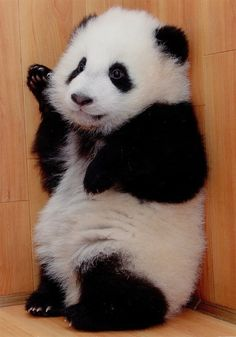 Such a cute panda. Pandas are the best animals ever! The Animals, My Animal, Cute Baby Animals, Funny Animals, Nature Animals, Wild Animals, Cute Creatures, Beautiful Creatures, Animals Beautiful