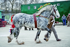 The Majesty and Power of the Shire Horse represented in Pictures Big Horses, Cute Horses, Pretty Horses, Horse Love, Caballos Clydesdale, Percheron Horses, Dapple Grey Horses, Friesian, Most Beautiful Horses
