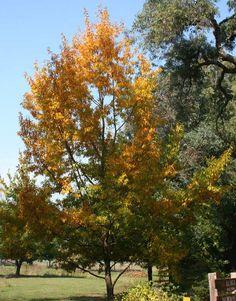 Oak Trees :: Balingup Small Tree Farm