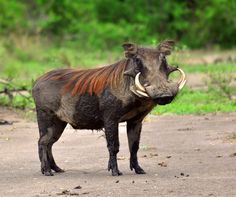 This Warthog is over populated. They live in the hot and forestry climates of the savannah. Animals such as lions, tigers, hyenas, and juagars hunt these agressive animals. This warthog eats bugs and and left over carcuses.