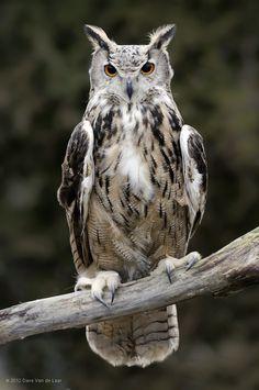 Eurasian Eagle-Owl by Dave Van de Laar on 500px