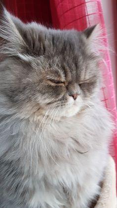 Momo The Cat, Cats, Gatos, Cat, Kitty, Kitty Cats