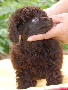 33 Ideas Tattoo Dog Poodle Puppys For 2019 Baby Dogs, Dogs And Puppies, Poodle Puppies, Doggies, Red Poodles, French Poodles, Chocolate Poodle, Small Poodle, French Dogs
