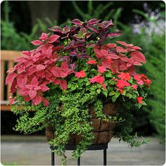 Coleus 'Redhead, with impatiens and Ivy