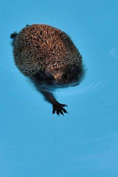 Hedgehogs can swim!