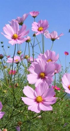 Flores Discover Flowers are always inspiring to me in my art and jewelry. And I find I love cosmos as much as I love Gerbera Daisies. Cosmos Flowers, Pretty Flowers, Wild Flowers, Bouquet Flowers, Tulips Flowers, Art Flowers, Paper Flowers, Wedding Flowers, Flowers Garden