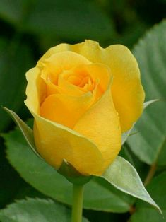 Captivating Why Rose Gardening Is So Addictive Ideas. Stupefying Why Rose Gardening Is So Addictive Ideas. Beautiful Rose Flowers, Exotic Flowers, Amazing Flowers, Pretty Flowers, Roses Only, Rose Pictures, Hybrid Tea Roses, Mellow Yellow, Rose Buds