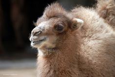 Our baby camel, Jack.