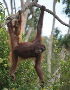 """In to the wilderness of Gunung Leuser National Park  This pristine wilderness is home to the """"big four"""": the elephant, tiger, orangutan and rhino, as well as being the habitat of the clouded leopard and sun bear. http://jakp.st/1ge5sF5   #indonesiaonly   #indonesia   #jungle   #nationalpark"""