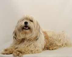 """""""Beasley"""" Available for Adoption Male/Neutered  Shih Tzu/Mix  2 years 6 months Check our website: www.santacruzspca.org or call us (831) 465-5000 for more information on how to adopt. Shih Tzu Mix, 6 Months, Adoption, Website, Dogs, Check, Animals, Foster Care Adoption, 6 Mo"""