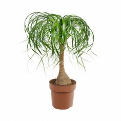 See 18 best large indoor plants for your home or office. Tall houseplants look fascinating and create the illusion of enlarged interior.