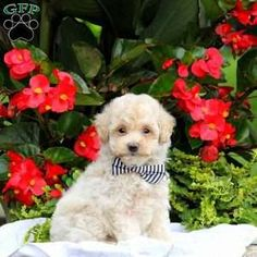 Bich-poo Puppy in East Earl, PA Free Crochet Rose Pattern, Greenfield Puppies, Bichon Frise, Puppies For Sale, Poodle, Dogs, Animals, Animales, Animaux