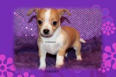 "Fairytailpuppies ""where pets are family too - TANAIRY"