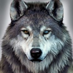 alfa and omega wolf wolves \ alfa and omega wolf ; alfa and omega wolf wolves ; Wolf Photos, Wolf Pictures, Snarling Wolf, Wolf Hybrid, Different Colored Eyes, 2 Colored Eyes, Wolf Eyes, Alpha Wolf, Wolf Spirit Animal