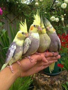 cockatiels (Nymphicus hollandicus), parrots that are a member of the cockatoo family endemic to Australia. Kinds Of Birds, All Birds, Cute Birds, Pretty Birds, Little Birds, Beautiful Birds, Animals Beautiful, Bird Types, Cockatiel