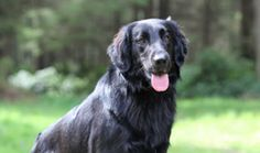 Flat-Coated Retriever Breed Information