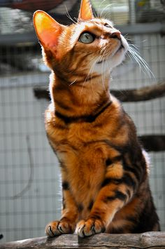 bengal cat   Tumblr... looks like miss Maia.. my little moo.