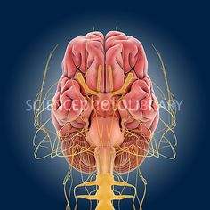 Central nervous system, artwork