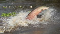 """""""El paiche es el rey de los peces amazónicos (Foto: Archivo El Comercio)""""  This pinner allowed me to appreciate how Pinterest is clearly an international platform. His post lead me to learn that the Paiche (Arapaima gigas) is a large, freshwater Peruvian fish that breathes air w/ gills and by surfacing every 5 minutes, an adaptation to hypoxic Amazonian water.   ~Courtney"""