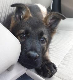 """17.4k Likes, 102 Comments - The German Shepherd Dog (GSD) (@gsdstagram) on Instagram: """"I will love you all my life! ❤️ Follow Maverick @maverick_the.gsd Use #gsdstagram to be…"""""""