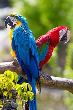 Yellow & Blue Macaw & Scarlet Macaw in Venezuela. Two favourite kinds of parrots. All Birds, Cute Birds, Pretty Birds, Beautiful Birds, Animals Beautiful, Angry Birds, Tropical Birds, Exotic Birds, Colorful Birds