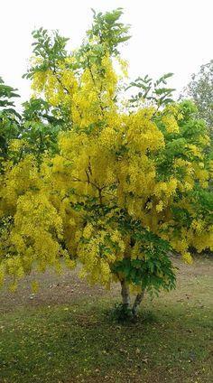 Poinciana tree jamaica places i have visited pinterest accia mightylinksfo