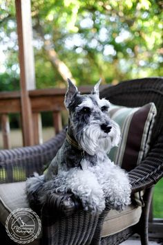 Remington Discovers Ranch Dressing by Fix Your Images Photography #Miniature #Schnauzer