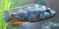 l'astronomie à la zoologie: Cichlid (Nimbochromis la livingstonii) de Livingston Connu localement sous le kalingono, la cichlidés de Livingston est une espèce colorés d'eau douce incubés dans la bouche maternelle cichlidés du lac Malawi, il est également connu pour se produire dans le cours supérieur du fleuve Shire et le lac Malombe.  Les cichlidés de Livingston se trouvent généralement dans les zones côtières du lac sur des substrats de sable.  Les cichlidés de Livingston sauvages se…
