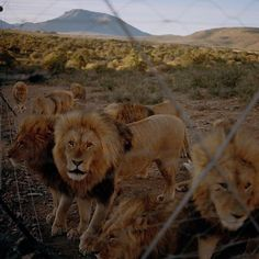 When the World learned in late July about the death of Cecil the Lion a beloved resident of a national park in Zimbabwe outrage came swiftly. But while Cecils death has put a new focus on illegal poaching other hunters are pursuing their own trophiesand its perfectly legal. Thats because of another less publicized side of big-game trophy hunting: the sanctioned stalking of animals that are bred grown and kept in captivity specifically so that the right to kill them can be sold to wealthy…