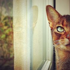 Weebee my Abyssinian - edited with Snapseed App