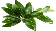 Where to buy Olive Leaf Extract ? Where can i purchase Olive Leaf Extract suppliers? Where can i Looking for Olive Leaf Extract manufacturer and where to find Olive Leaf Extract for sale? Home Remedies For Herpes, Natural Remedies For Rosacea, Rosacea Remedies, Natural Cures, Natural Healing, Health Remedies, Holistic Healing, Home Treatment, Natural Treatments