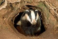 Badger Underground. Badgers are related to weasels and otters. Their faces are white with black markings. Find more fun facts about Badgers here: http://easyscienceforkids.com/all-about-badgers/
