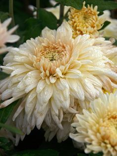 Mum 'French Vanilla' Football Chrysanthemum - Gigantic flowers on sturdy stems, the equal of florist Mums. Height 3'  Zones 5-9