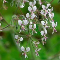Pelargonium tomentosum (Mint-scented geranium, Peppermint geranium) - piparminttupelargoni