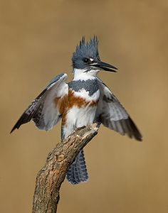 Belted Kingfisher (Megaceryle alcyon) Its breeding habitat is near inland bodies of waters or coasts across most of Canada, Alaska & the US. They migrate from the northern parts of it's range to the southern United States, Mexico, Central America, the West Indies & northern South America in winter. During migration it may stray far from land.