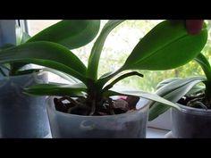 Как  появляется новый цветонос Орхидеи после его полной обрезки - YouTube