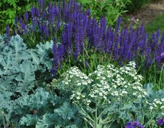 Blue Seakale, Crambe maritima in front of blue Salvia at the Royal Botanical Gardens in Hamilton, ON