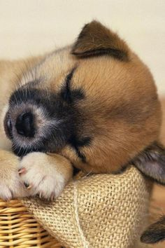 Sleeping Puppy ✿⊱╮