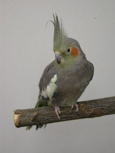 Cockatiel - Common (Grey) Cockatiel, Budgies, Parrots, Lily, Birds, Club, Pets, Sweet, Animals