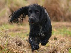 Duffy the working black cocker spaniel