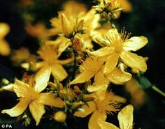 Plant power: Herbal extract from St John's wort is thought is just as effective as Prozac for treating depression, say scientists