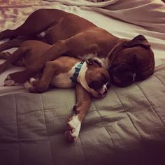 More About Boxer Puppy Colors Boxer And Baby, Boxer Love, I Love Dogs, Puppy Love, Cute Dogs, Weimaraner, Boxers, Beagle, Cute Boxer Puppies