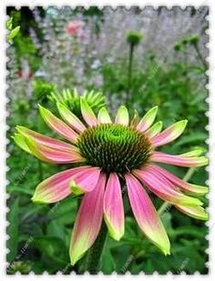 200pcs/bag Special sale echinacea flower seeds Prairie coneflower seeds,bonsai plant home garden