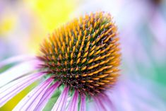 bloom colorful coneflower detail echinacea flora flower garden health herb herbal homeopathic immune medicinal natural nature pink plant purple coneflowers echinacea health health health health health Eating Nutritiously Does Not Have To Be Tedious Types Of Flowers, Purple Flowers, Home Medicine, Name Pictures, Flower Names, Organic Gardening Tips, Medicinal Plants, Herbalife, Perennials