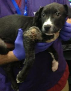 SUPER URGENT 5/1/13br /Manhattan Center br /br /ORCA - A0963399***** DOH HOLD 4/29/13 *****MALE, BLACK / WHITE, PIT BULL MIX, 3 mos STRAY - Reason STRAY Date 04/26/2013, From NY 11104, PAVO TESTED NEGATIVE, MULTIPLE PUNCTURE WOUNDS TO EARS, ON NECK, AND TO (R) FRONT LEG, NOSF Weight 14.2 https://www.facebook.com/photo.php?fbid=604605122885704=a.172404072772480.42595.152876678058553=3