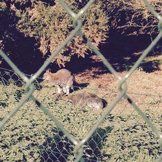 Wallabies Panther, Kangaroo, Animals, Baby Bjorn, Animales, Animaux, Panthers, Animal, Animais