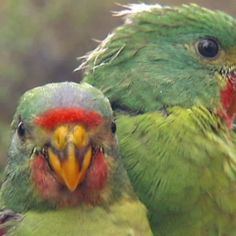 A group of arborists from Victoria volunteer to travel to Tasmania to carve out tree hollows for the critically endangered swift parrot, after the trees the birds used for nesting are cut down for firewood. Parrot Habitat, Habitat Destruction, Australian Birds, Bird Perch, Cockatiel, Exotic Birds, Endangered Species, Bird Feathers, Beautiful Birds